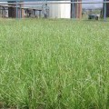 Vetiver Phytoremediation