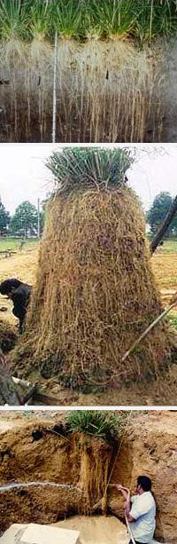 Le radici del Vetiver, profonde fino a 5 metri, imbrigliano qualsiasi terreno