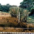 Trattenendo il terreno eroso, la siepe di Vetiver forma dei terrazzamenti